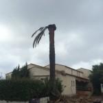 abattage palmier charançon rouge var belmon paysagiste jardinier 83