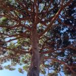 nettoyage et éclaircissement d'un pin belmon paysagiste jardinier var 83